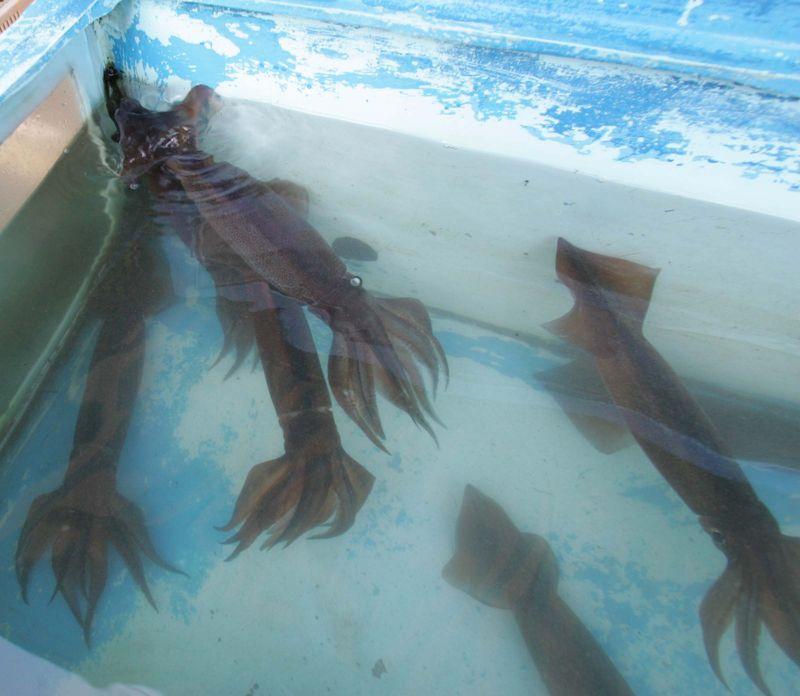 Squid tank